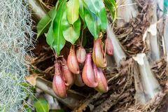 Predatory plant Nepenthes. Nepenthes. Little predatory plant with elongated leaves and hanging clusters of small pitchers Stock Photos