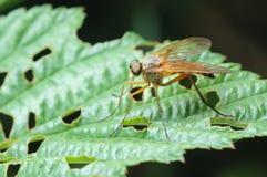 Predatory Snipe-fly (Rhagio scolopaceus) Stock Images