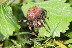 Spider hunting on the grass Royalty Free Stock Photography