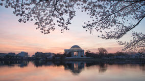 Predawn Cherry blossoms at Washington DC Tidal Basin Royalty Free Stock Photos
