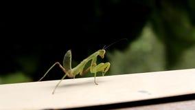 predicador de rogación del insecto almacen de metraje de vídeo