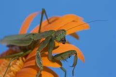 Predicador en margarita anaranjada Imagen de archivo
