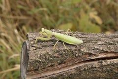 Predicador en un acacia del registro Predicador que mira la cámara Depredador del insecto del predicador Foto de archivo libre de regalías
