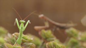 Predicador o mantis religiosa europeo, religiose del predicador almacen de metraje de vídeo