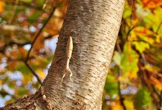Predicador que caza grande en tronco de árbol de abedul Fotografía de archivo