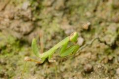 Predicador verde Foto de archivo libre de regalías