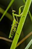 Predicador verde en la planta verde imagen de archivo
