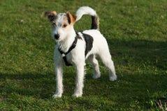 Predikant Russell Terrier Royalty-vrije Stock Afbeeldingen