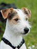 Predikant Russell Terrier Stock Afbeeldingen