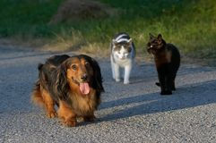 Predominance. Snapshot of a dog and cats royalty free stock photography