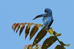 Preening φτερά υφάσματος λουλακιού Στοκ φωτογραφία με δικαίωμα ελεύθερης χρήσης