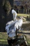 Preening пеликан Стоковая Фотография
