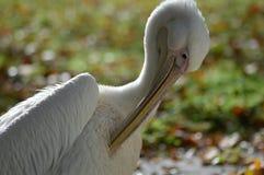 Preening пеликан Стоковая Фотография RF