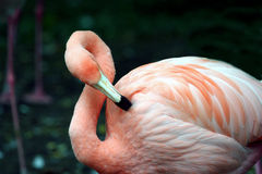 preening пинка фламингоа Стоковое Изображение