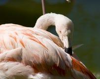 Preening фламинго Стоковые Изображения RF