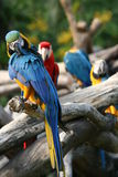 Preening blue & yellow parrot. Blue & yellow parrot cleaning its feathers infornt of 3 friends Stock Photography