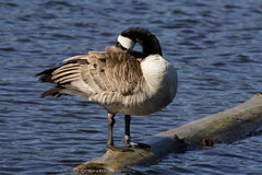 Preening Canada Goose Standing on a Log Stock Photography