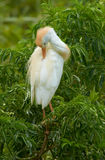 Preening cattle egret Royalty Free Stock Photos