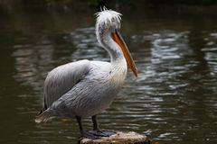 Dalmatian Pelican in Breeding Season Royalty Free Stock Photography