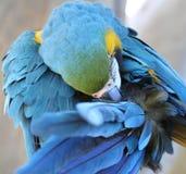 Preening del macaw dell'oro e dell'azzurro Fotografie Stock