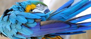 Preening del macaw dell'oro e dell'azzurro Immagine Stock