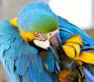 Preening del macaw dell'oro e dell'azzurro Immagini Stock