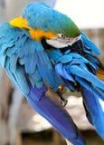 Preening del macaw dell'oro e dell'azzurro Fotografia Stock