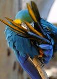 Preening del macaw dell'oro e dell'azzurro Fotografia Stock Libera da Diritti