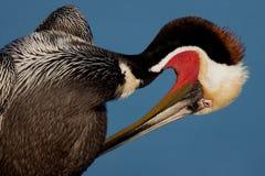 Preening do pelicano de Brown Fotos de Stock Royalty Free