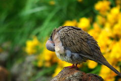 Preening Dove Stock Image