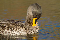 Preening duck Stock Photos