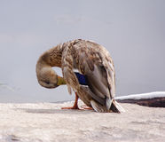 Preening duck Royalty Free Stock Images