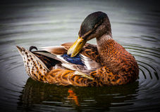 Preening duck feathers. Female Mallard preening her duck feathers Royalty Free Stock Image