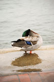 Preening Duck II Royalty Free Stock Image