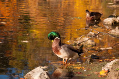 Preening duck. A mallard duck preening himself Royalty Free Stock Image