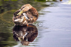 Preening Duck. A single female Mallard, preening in the pond Royalty Free Stock Photos