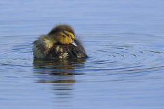 Preening Duckling Stock Photos