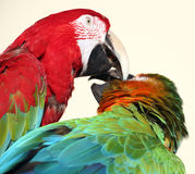 Preening duo. Pair of macaws preening stock photos