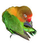 A preening fihseri lovebird Stock Photos