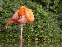 Preening Flamingo. A colourful Flamingo takes time out to preen it's plumage Royalty Free Stock Images