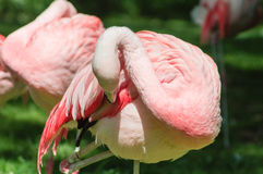 Preening Flamingo Stock Images