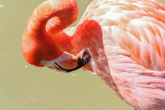 Preening Flamingo. Close up of a preening pink flamingo Royalty Free Stock Photos