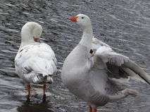 Preening Geese. A pair of Geese standing in water preening feathers Royalty Free Stock Image