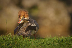 Preening goosander Royalty Free Stock Photos