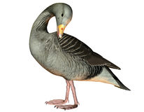 Preening goose. 3D rendering of a cleaning itself goose Royalty Free Stock Images