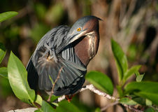Preening green heron royalty free stock image