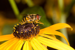 Preening honeybee on a black-eyed susan Stock Images