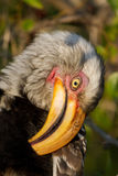 Preening hornbill Royalty Free Stock Photography