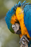 Preening Macaw. A beautiful macaw parrot preening on a perch stock photo