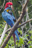 Preening Macaws Stock Photography